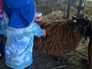 Petting sheep (Merino?)