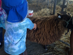 Petting sheep (Merino?)