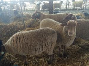 Sheep judging us right back?