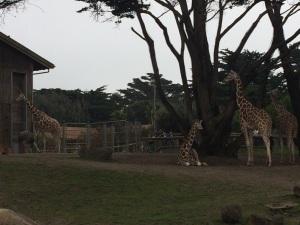 Giraffes!  Four of 'em!